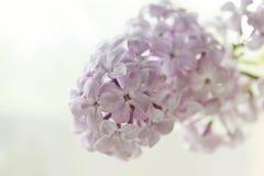 Fleur lilas sur un fond blanc Photo libre de droits