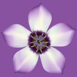 Fleur lilas sur un fond foncé images stock