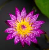 Fleur, lotus, fond, rose image stock