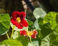 Fleur lumineuse de nasturce Photos libres de droits