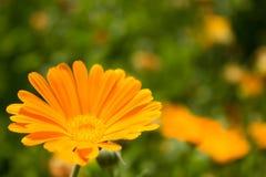 Fleur lumineuse de souci sur un fond vert Image stock
