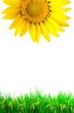 Fleur lumineuse du soleil avec l'herbe verte Photographie stock libre de droits