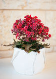 Fleur médicale à la maison Kalanchoe Photos stock