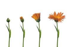 Fleur médicinale Photographie stock