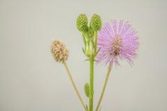 Fleur médicinale de pudica de mimosa sur le fond blanc photographie stock libre de droits