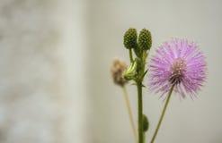 Fleur médicinale de pudica de mimosa sur le fond blanc photos stock
