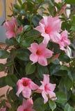 Fleur méditerranéenne de mandevilla dans rose-clair Image libre de droits