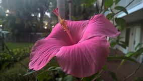 Fleur magenta de ketmie Image stock