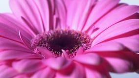 Fleur magenta rose de gerbera tournant sur le fond d'isolement bleu Beau gerbera de floraison simple La marguerite est fleur de banque de vidéos