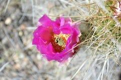 Fleur magnifique de cactus du Texas Photographie stock libre de droits