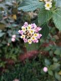 Fleur marocaine Images libres de droits