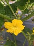 Fleur masculine à l'usine de concombre photos libres de droits