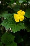 Fleur masculine d'acutangula de luffa (courge soyeuse) Images stock