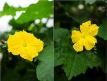 Fleur masculine d'acutangula de luffa (courge soyeuse) Image libre de droits