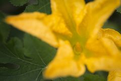 Fleur masculine de potiron Photographie stock libre de droits