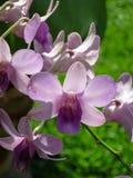 Fleur mauve-clair d'orchidée de Dendrobium fleurissant avec le vert g de tache floue Photo libre de droits