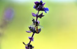 Fleur Medunica et abeille image stock