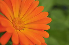Fleur minuscule orange Photos stock