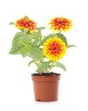 Fleur mise en pot images stock