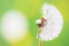 fleur Moitié-grasse de pissenlit Photo stock