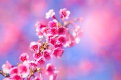 Fleur molle de fleurs de cerisier ou de Sakura de foyer sur le ciel bleu b de nature Image stock