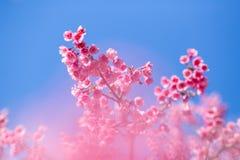 Fleur molle de fleurs de cerisier ou de Sakura de foyer sur le ciel bleu b de nature Images stock