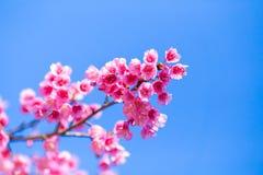 Fleur molle de fleurs de cerisier ou de Sakura de foyer sur le ciel bleu b de nature Photo libre de droits