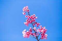Fleur molle de fleurs de cerisier ou de Sakura de foyer sur le ciel bleu b de nature Photographie stock