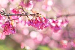 Fleur molle de fleurs de cerisier ou de Sakura de foyer sur le fond de nature Photo libre de droits