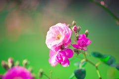 Fleur molle de roses de foyer Photographie stock