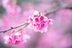 Fleur molle de Sakura de foyer Photographie stock