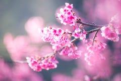 Fleur molle de Sakura de foyer Images libres de droits