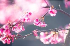 Fleur molle de Sakura de foyer Image libre de droits