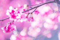 Fleur molle de Sakura de foyer Photos libres de droits