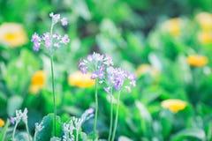 Fleur molle de violette de foyer Photo libre de droits