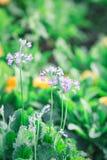 Fleur molle de violette de foyer Photos stock