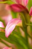 Fleur molle de zantedeschia d'orientation photo stock