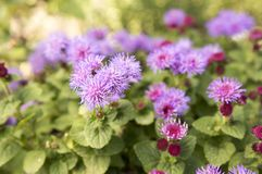 Fleur moulue de houstonianum d'Ageratum petite avec les fleurs violettes pourpres photos libres de droits