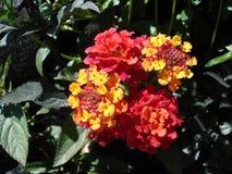 Fleur multicolore Images libres de droits