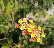 Fleur multicolore Photographie stock libre de droits