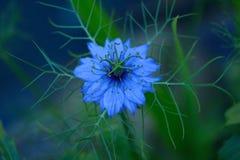 Fleur mystérieuse Nigella de nigella sativa dans la lumière de soirée Image libre de droits