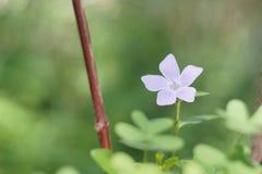 Fleur naine de bigorneau Images libres de droits