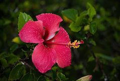 Fleur Nature Red Pink Plant bonita Zanzibar Tanzânia Imagens de Stock