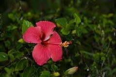 Fleur Nature Red Pink Plant Zanzíbar Fotografía de archivo libre de regalías