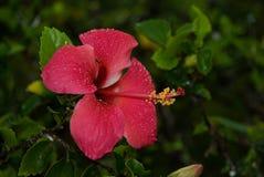 Fleur Nature Red Pink Plant Zanzíbar Fotografía de archivo