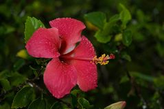 Fleur Nature Red Pink Plant Zanzibar Fotografia de Stock