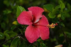 Fleur Nature Red Pink Plant Zanzibar imagem de stock royalty free