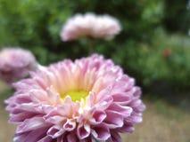 Fleur naturelle de chrysanthème de Sri Lanka images libres de droits