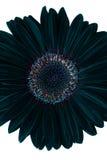 Fleur noire avec le chemin Image libre de droits