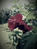 Fleur noire de miroir photo libre de droits